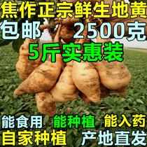 Jiaozuo specialty fresh native seeds raw with fresh dihuang Henan Huai Dihuang authentic Henan Specialty pregnant medicine 5 Jin Dress
