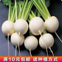 White Cherry radish Seeds Four Seasons Terrace garden vegetable seed potted fruit radish courtyard garden vegetables Seed