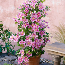 Imported iron wire lotus seed bulbs potted Iron line lotus seedling courtyard plant climbing rattan climbing flowers green Plant Bonsai