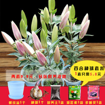 Import Perfume Lily seed ball with Bud Four Seasons balcony indoor green flower seeds potted lily flower with Bud