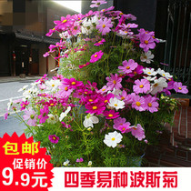 Cosmos seeds mixed color easy flower seeds indoor balcony Four Seasons flower seed Chrysanthemum potted plant