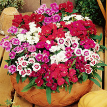 Imported colorful carnation mixed color Four Seasons flower seed ornamental flower balcony courtyard green planting potted seed