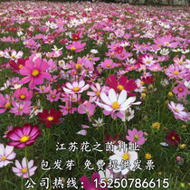 Cosmos seed mix Color Gesang flower seeds Four Seasons species of wild flower seed easy to live and bloom continuously