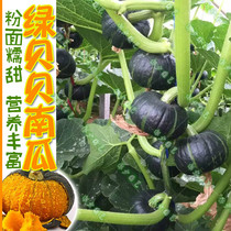 Green Beibei mini pumpkin Seeds Japanese imported chestnut flavor waxy sweet rice non-GMO farmers Four Seasons sowing