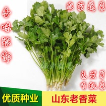 Shandong old coriander seed farmer coriander rapeseed authentic old variety Terrace Garden Four Seasons sowing vegetable seeds