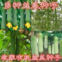 Shouguang high-yielding meat loofah seeds early ripening tender short meat gourd extra long gourd spring Four seasons sowing vegetable seeds