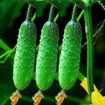 Fruit cucumber seeds high yield melon cucumber balcony potted seasonal vegetables spring summer dry cucumber seeds