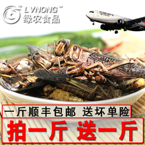 Buy a fresh special grasshopper locust living frozen mother with seed grasshopper male insect
