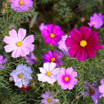 Spring Sowing Cosmos seed mix color Gesang flower Four Seasons 1200 grain fertilizer flower sea courtyard landscape planting seeds