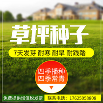 Turf seeds Four Seasons evergreen grass seed dog root drought tolerance cold resistance trampling garden green slope protection rye grass seeds