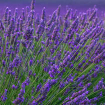 Lavender seeds Four Seasons easy to plant Provence Lavender seed vanilla seeds flower sea to build seeds