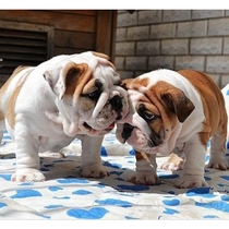 British Bulldog puppies live purebred British bull puppy puppy Dog 3