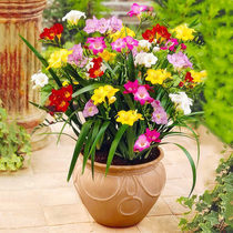 Freesia seed ball Double fragrant snow orchid seeds balcony potted garden flowers plant ginger flower root ball