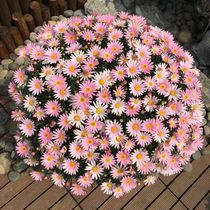 Small Daisy seed easy to explode the Four seasons species easy to bloom continuously indoor and outdoor flower plant seeds potted green planting