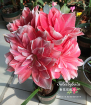 Pear Flower Yard (pre-sale) Holland import red Double Dream (very beautiful)