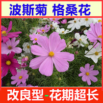 The seeds of the cosmos are easy to sprout and easy to germinate Gesang flower seed terrace Garden potted flower seeds