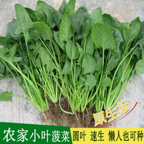 Farm leaflets spinach seeds original ecological chinese cabbage high-yielding four Seasons Terrace garden planting vegetable seeds