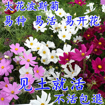 Seed flower Seeds of Gesang flower Seed of the Four Seasons easy to live wild flowers