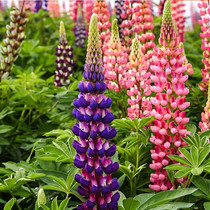 Lupin seeds Spring sowing lupin flower seed landscape garden green easy flower species perennial potted flower seeds