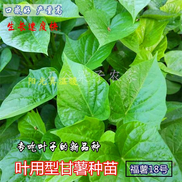 Fushu No. 18 leaf with sweet potato seedlings fresh leaf-shaped sweet potato Taiwan specializes in leaves sweet potato sweet potato seedlings