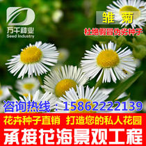 Daisy perennial flowers and plants seeds Four Seasons sowing garden flower sea landscape flowering plant seeds
