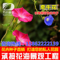 Morning Glory perennial flowers and plants seeds Four Seasons sowing garden flower sea landscape flowering plant seeds