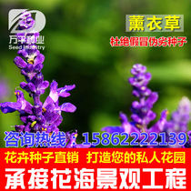 French import lavender flowers flowers seeds Four Seasons garden flower landscape flowering plant seeds