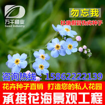 Forget-me-nots perennial perennial flowers and plants seeds Four Seasons sowing garden flower sea landscape flowering plant seeds