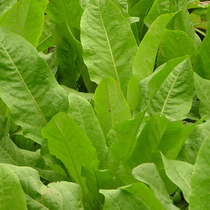 (Pearl) The seed of simple cultivated grass of the four seasons of the perennial leaf rosin grass of chicory