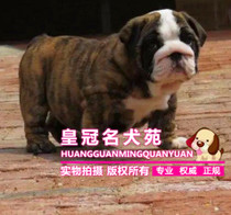 A breed of thoroughbred British bulldog who sells cattle tiger Tiger dog live pet dog.